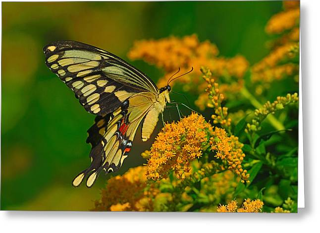 Giant Swallowtail On Goldenrod Greeting Card by Tony Beck