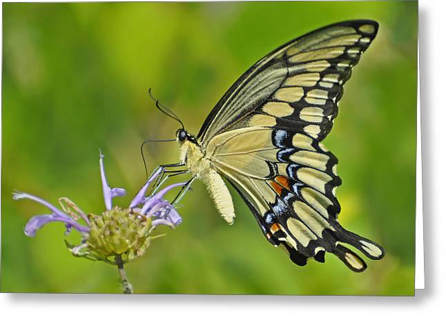 Giant Swallowtail Greeting Card by Rodney Campbell