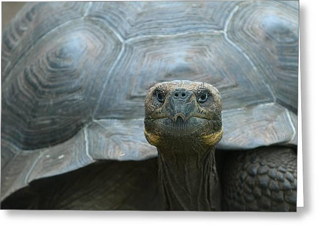 Giant Turtle Galapagos Islands Ecuador Greeting Card by Konstantin Kalishko