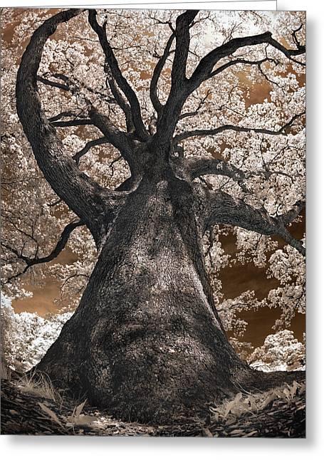 Giant White Oak Greeting Card