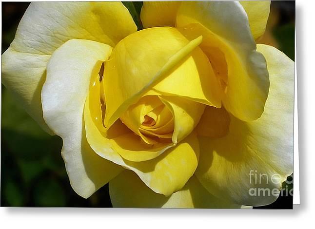 Gina Lollobrigida Rose Greeting Card by Kaye Menner