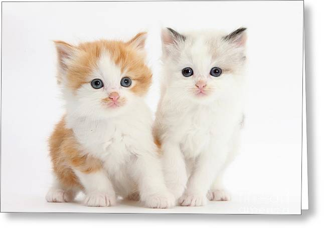 Ginger And Colorpoint Kittens Greeting Card by Mark Taylor