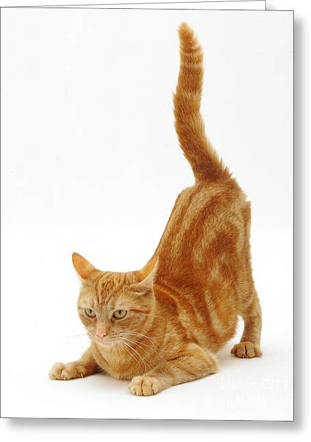 Ginger Cat Greeting Card by Jane Burton