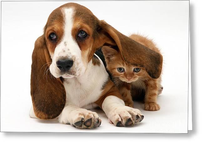 Ginger Kitten And Basset Puppy Greeting Card by Jane Burton