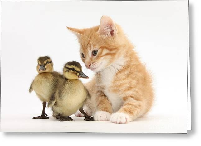 Ginger Kitten And Mallard Ducklings Greeting Card