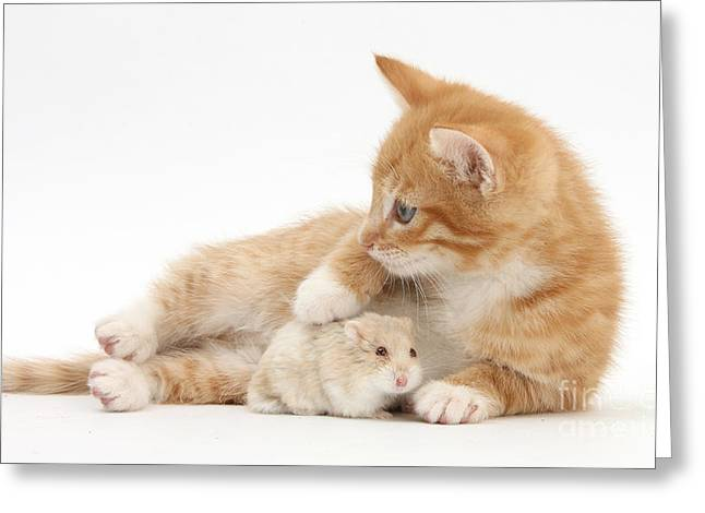 Ginger Kitten And Russian Hamster Greeting Card