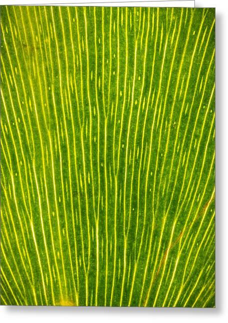 Ginko Tree Leaf Greeting Card by Steve Gadomski