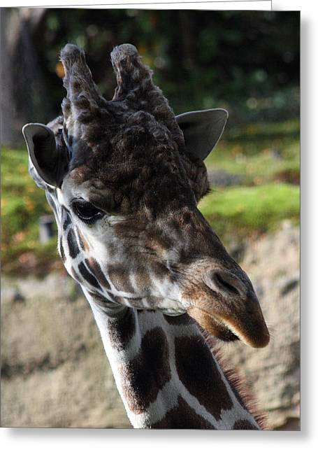 Giraffe - 0001 Greeting Card by S and S Photo