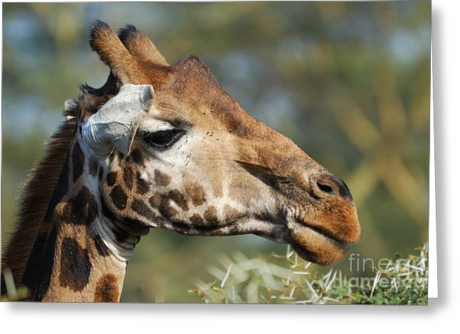 Giraffe Greeting Card by Alan Clifford