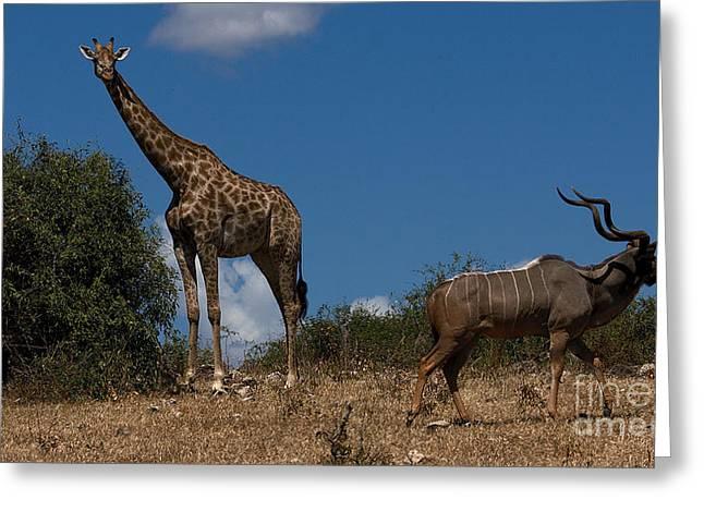 Giraffe And Kudu Greeting Card by Mareko Marciniak