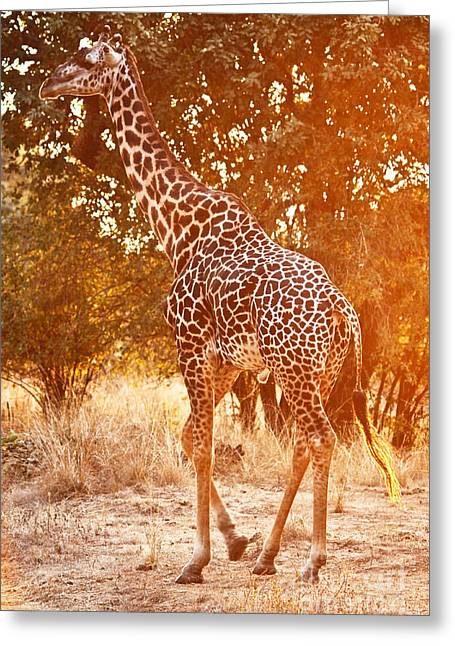 Giraffe At Sunset Greeting Card by Gualtiero Boffi