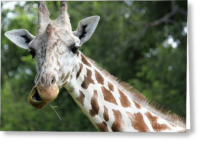 Giraffe Chewing Greeting Card by Billie-Jo Miller