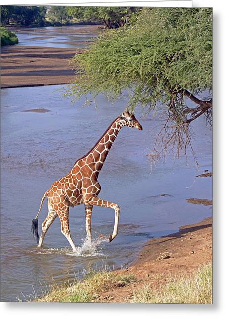 Giraffe Crossing Stream Greeting Card