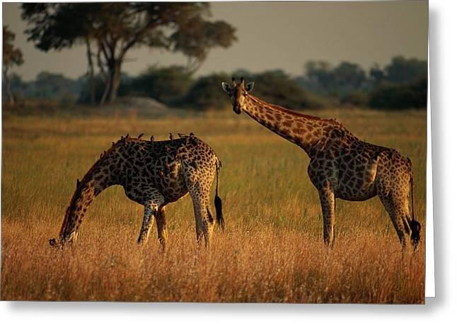 Giraffes Graze On The African Plain Greeting Card by Beverly Joubert
