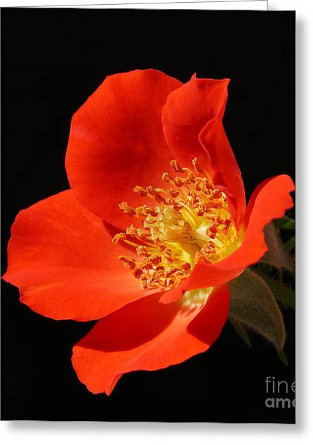 Gizmo Rose Greeting Card by Nicholas Burningham