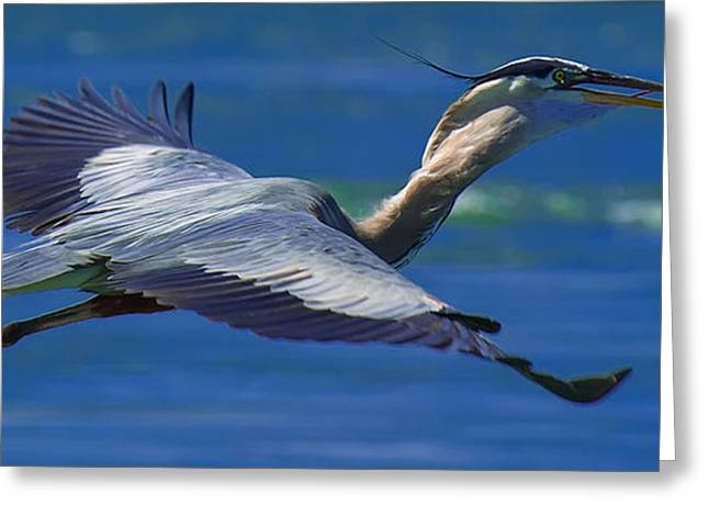 Gliding Great Blue Heron Greeting Card by Sebastian Musial