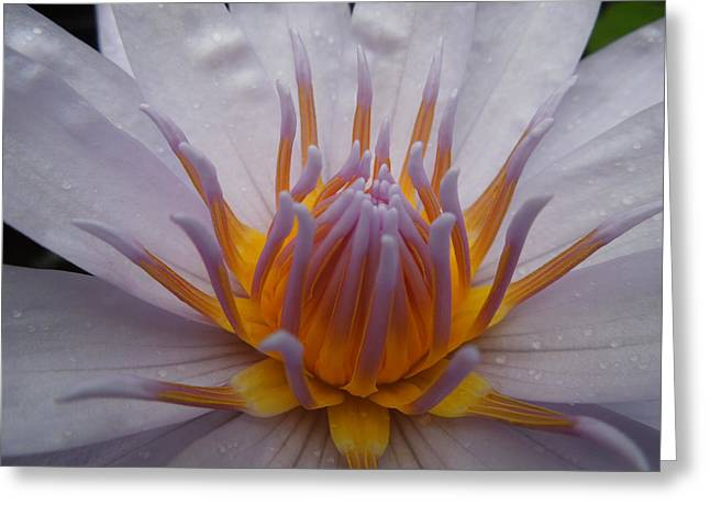 Glowing Gold Lotus Center II Greeting Card by Peg Toliver