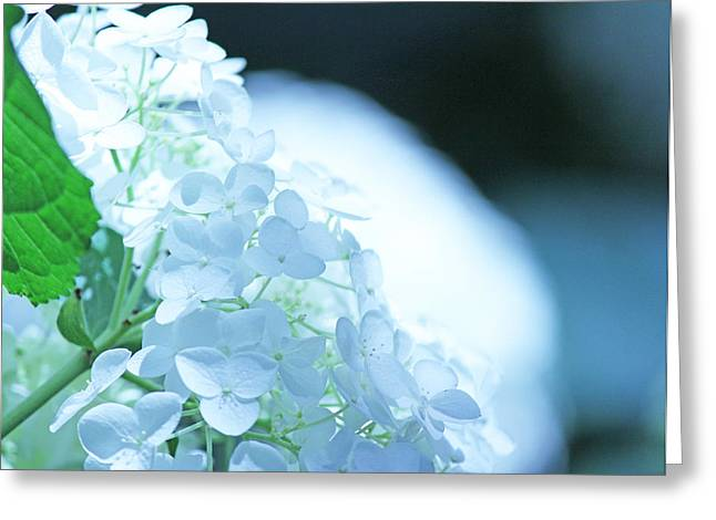 Glowing White Hydrangea Greeting Card by Becky Lodes