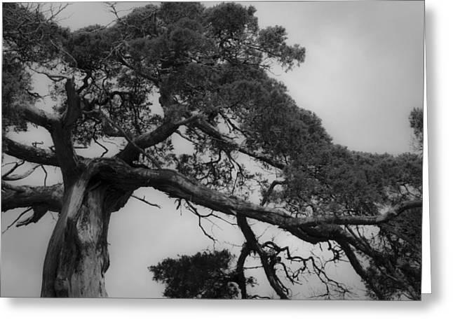 Gnarly Cedar Tree Greeting Card by Teresa Mucha