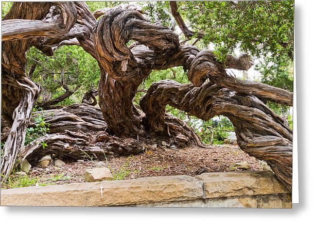 Gnarly Tree I Greeting Card by Bernard  Barcos
