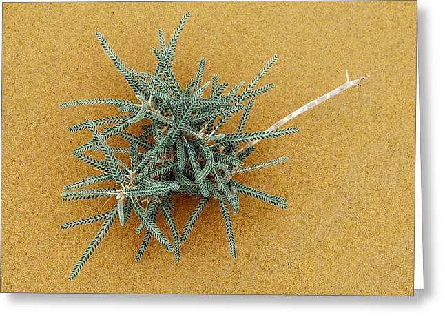Goat's-thorn (astragalus Gombo) Greeting Card by Dirk Wiersma