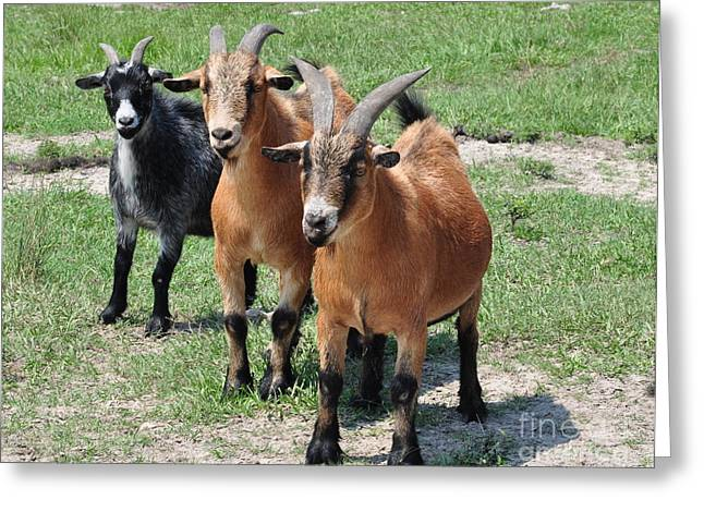 Three Billy Goats Gruff Greeting Cards - Goats Three in Line Greeting Card by Wayne Nielsen