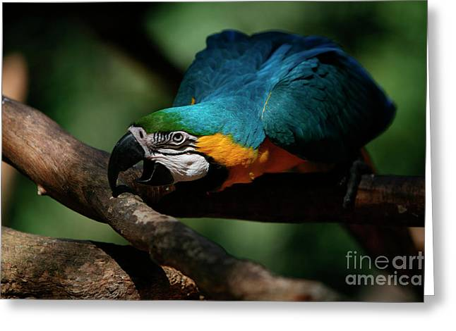 Gold And Blue Macaw Parrot Greeting Card by Keith Kapple