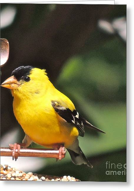 Greeting Card featuring the photograph Gold Finch by Eve Spring