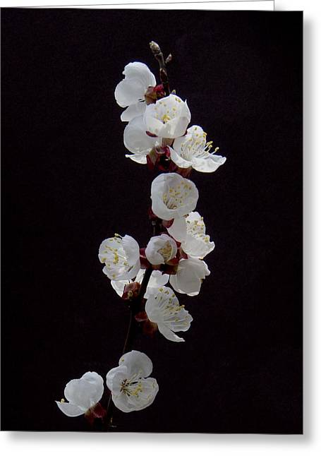 Goldcot Apricot 4397 Greeting Card by Michael Peychich