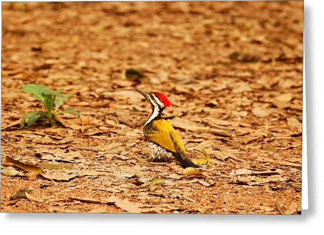 Greeting Card featuring the photograph Golden Backed Woodpecker by Fotosas Photography