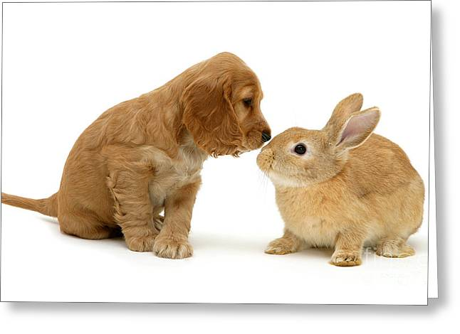 Golden Cocker Spaniel And Rabbit Greeting Card by Jane Burton