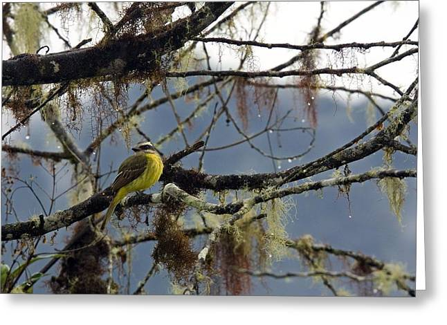 Golden-crowned Flycatcher Greeting Card by Bob Gibbons