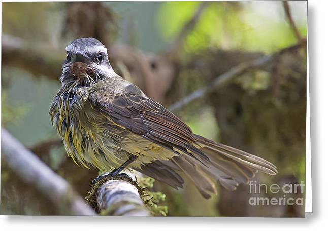 Golden--crowned Flycatcher Greeting Card
