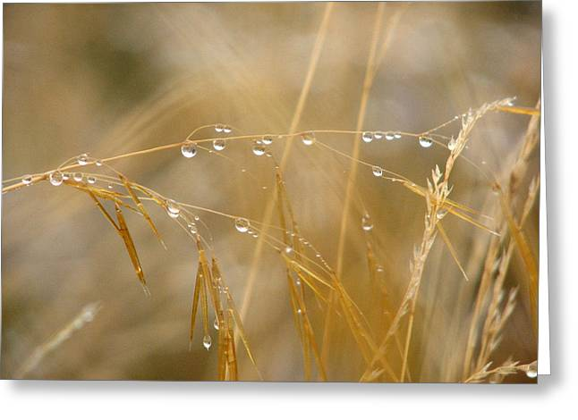Golden Dew Drops Greeting Card by Chris Anderson