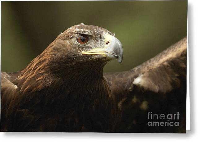 Greeting Card featuring the photograph Golden Eagle by Doug Herr