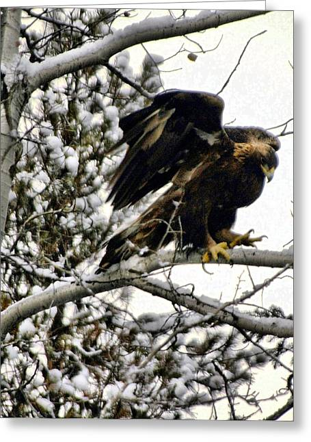 Golden Eagle Stretching Greeting Card by Don Mann