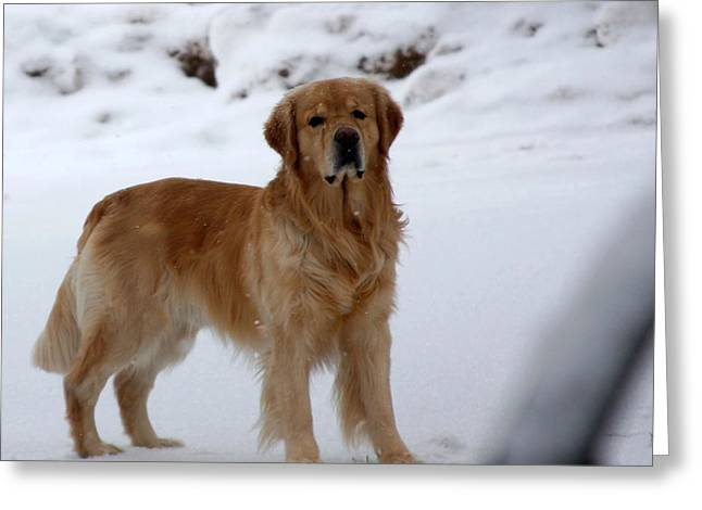Golden In Snow Greeting Card by Marta Alfred