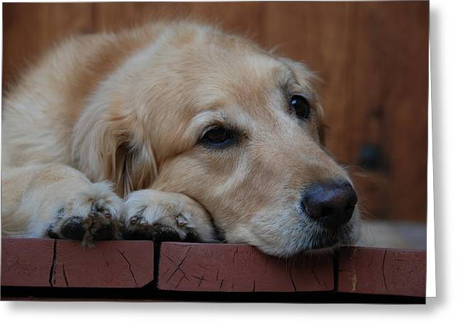 Greeting Card featuring the photograph Golden Labrador Dog by Irina ArchAngelSkaya