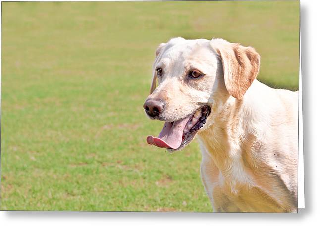Golden Labrador Greeting Card