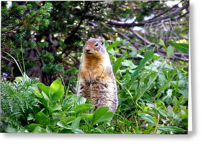 Golden Mantled Ground Squirrel  - Standing Greeting Card by Mark Caldwell