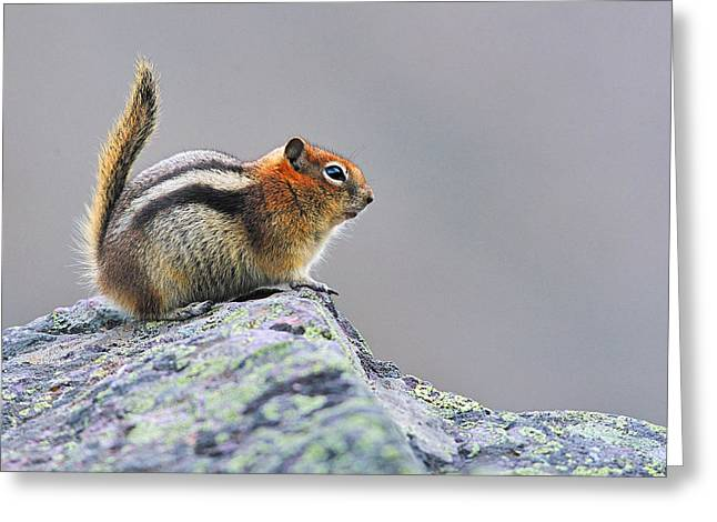 Golden-mantled Ground-squirrel Greeting Card