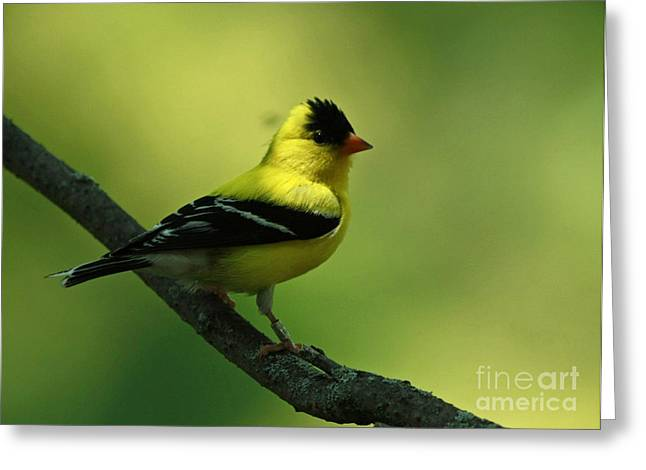 Golden Moments - American Goldfinch  Greeting Card
