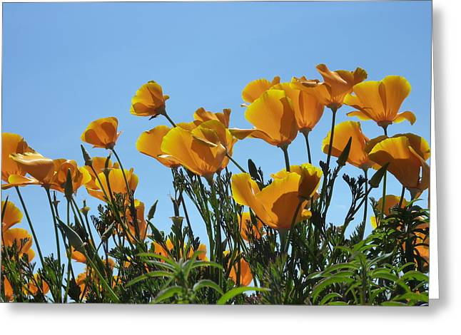 Golden Poppies Basking In The Sun Greeting Card by Cindy Wright