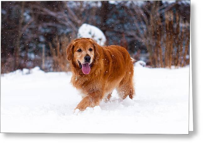 Golden Retriever Greeting Card by Matt Dobson
