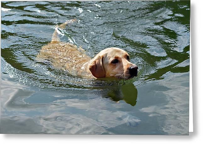 Golden Retriever Swimming Greeting Card by Susan Leggett