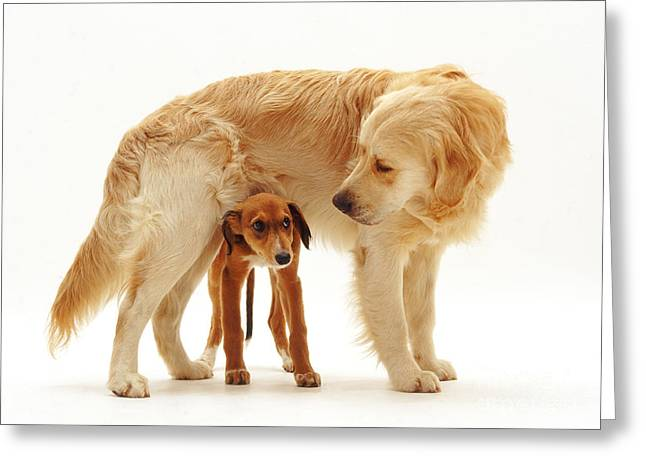 Golden Retriever With Saluki Lurcher Greeting Card