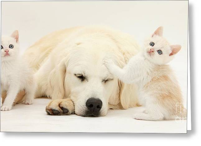 Golden Retriever With Two Kittens Greeting Card by Mark Taylor