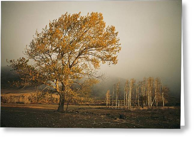 Golden Sunlit Tree With Mist, Yakima Greeting Card