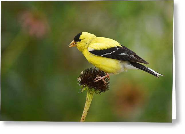 Goldfinch Greeting Card by Alan Hutchins