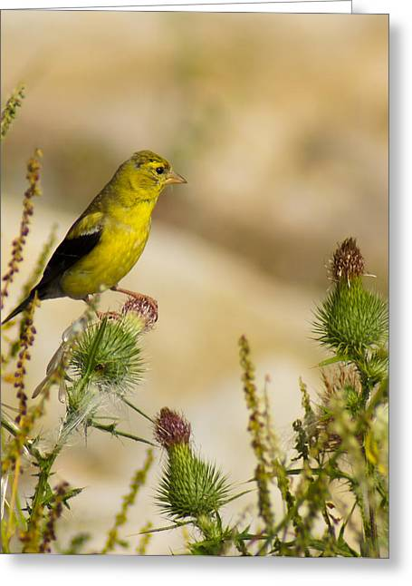 Goldfinch On Lookout Greeting Card